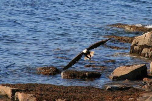 Bald Eagle Schoodic Point Maine 2008
