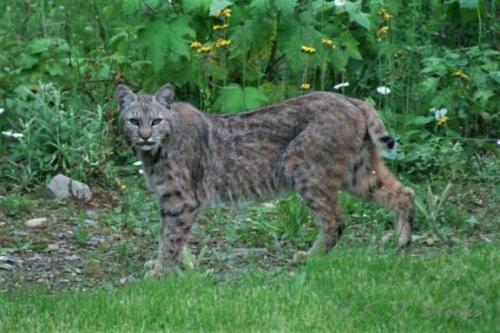 Canada Lynx Chewelah WA june 2013