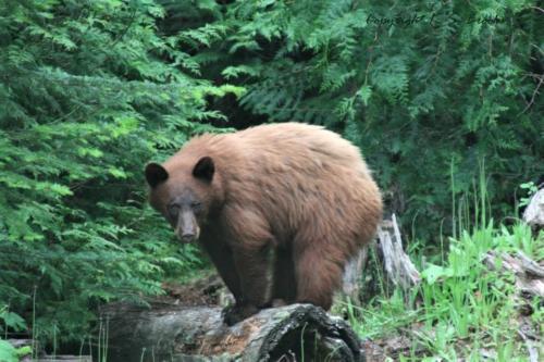 Cinnamon Bear Chewelah WA 2013
