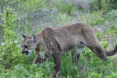 Cougar Chewelah Washington