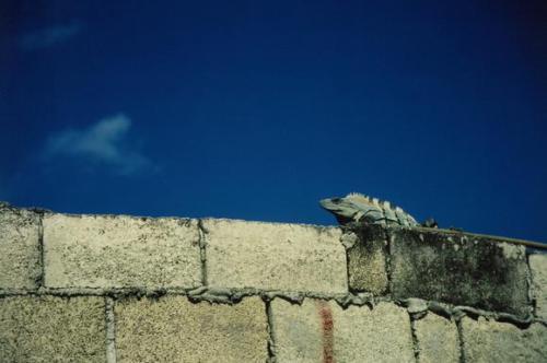 Iguana Cozumel Mexico