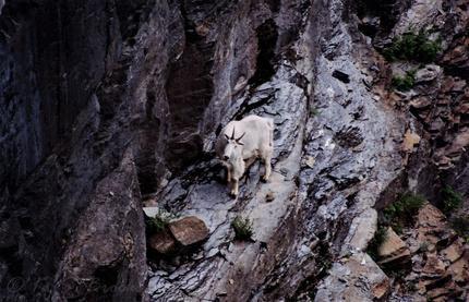 Mountain Goat Glacier National Park June 2001