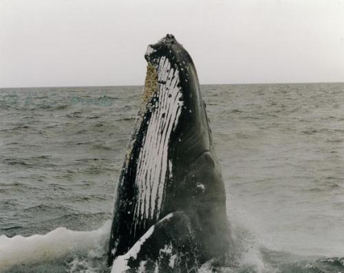 Peering Humpback Gloucester MA