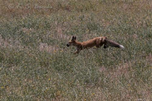 Red Fox Lewiston Idaho 2020
