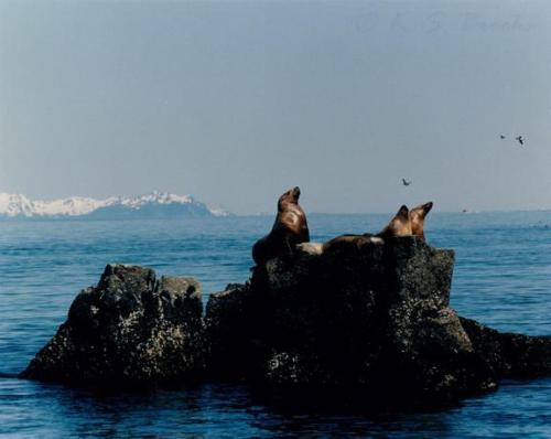 Stellar Sea Lions Kenai Fjord Alaska