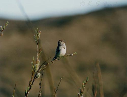 Tundra Sparrow