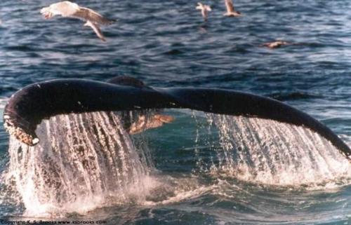 humpbacktail